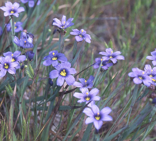 Oak woodlands plant community california native garden foundation blue eyed grass mightylinksfo