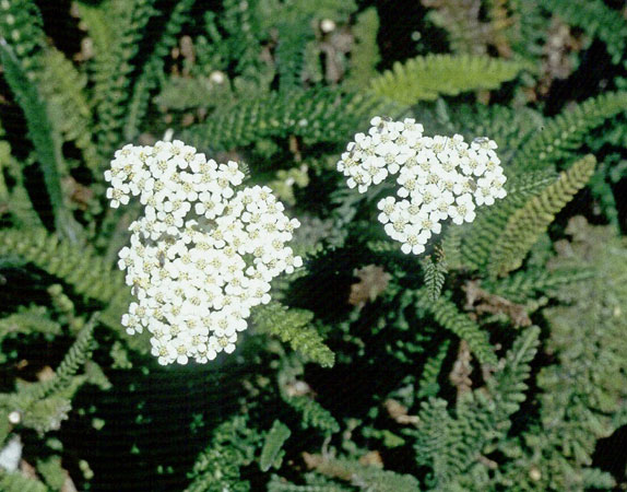 Meadow plant community california native garden foundation winter dormant herbaceous fast growing perennial with spreading roots has fragrant fernlike leaves and flat topped clusters of white or pink flowers in mightylinksfo